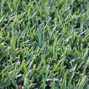 Sir Walter Buffalo Grass Turf