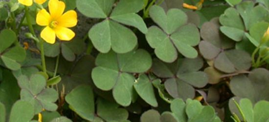 Winter Weed Whacking – Wintergrass, Bindii & Creeping Oxalis