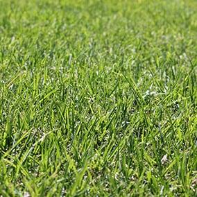 Eureka Kikuyu Grass