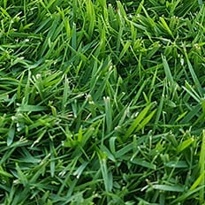 sir grange, turf, grass, zoysia