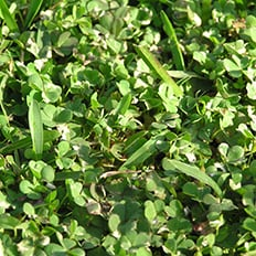 Lawn Weeds Creeping Oxalis